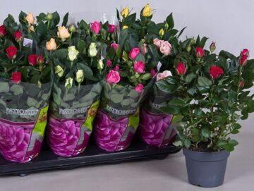 Розы в контейнерах 1