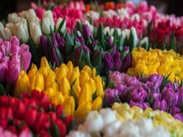 Тюльпаны оптом на 8 марта. Дешево!!! 1